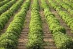 Probiotyki dla upraw roślinnych